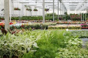 cosmosplants-plants3