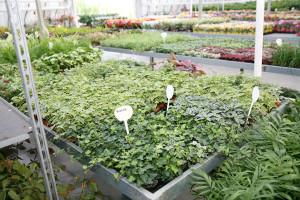 cosmosplants-plants43